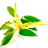 Іланг іланг - ефірне масло