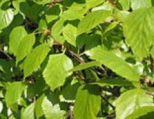 Береза пухнаста betula pubescens ehrh. (Betula alba l.)