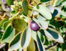 Ефірне масло сандалового дерева