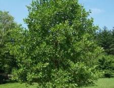 Вільха клейка, або чорна alnus glutinosa (l.) Gaertn.